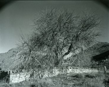 Laurence Aberhart - Landscape #64 [old apple tree], Alexandra, Central Otago, 16 June 2012